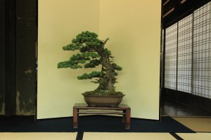 bonsai at room