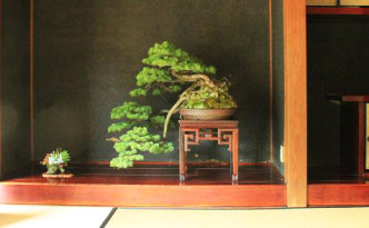 bonsai in JP room_cut
