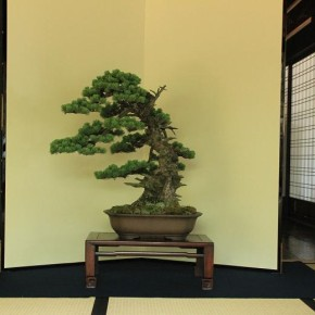 bonsai at room